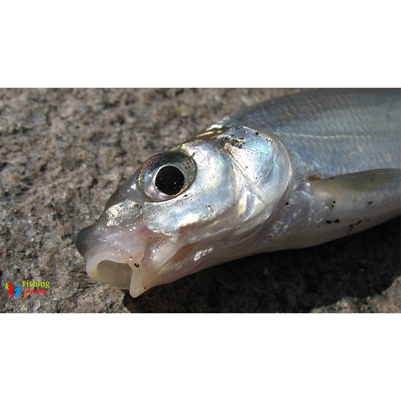 Рибець звичайний (Vimba vimba)